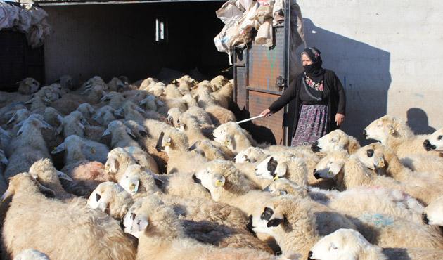 Niğde'de 500 koyun, ölü kuzu doğurdu
