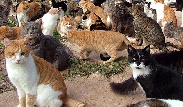 ABD'de yüzlerce evcil kediye kuş gribi karantinası