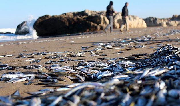 Kandıra'da çok sayıda hamsi ve istavrit kıyıya vurdu
