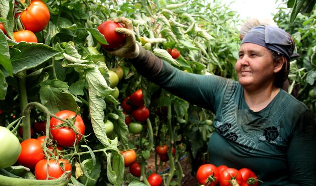 Rusya'ya domates ihracatı başladı
