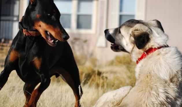 Iğdır'da köpek dövüştürenlere ceza