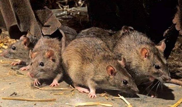 Fransa'da bakanlıklarda fare istilası