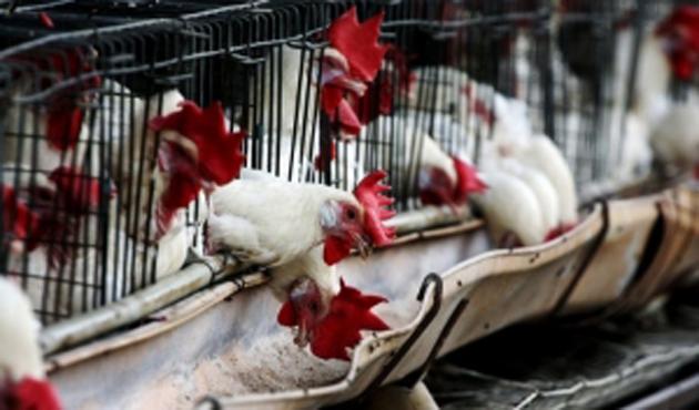 İran'da kuş gribi virüsü
