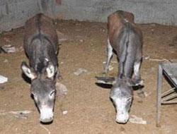 At, eşek ve domuz eti nasıl farkedilir?