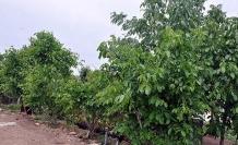 Ceviz ağaçları güvence altına alınıyor