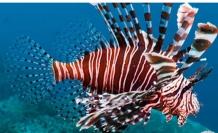 Akdeniz'de zehirli aslan balığı için 'Wanted' afişi