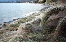 Yunanistan sahillerini örümcekler bastı