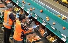 Avustralya'daki mevsimlik işçiler geçimini domates tarlalarından sağlıyor