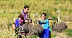Çinli kadınlar mor pirinç hasadında