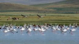 Akgöl'de flamingoların dansı