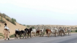 Pakistan'ın Thar çölünde kuraklık hayatı felç etti