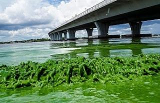 "Florida'da ""zehirli algler"" OHAL ilan..."
