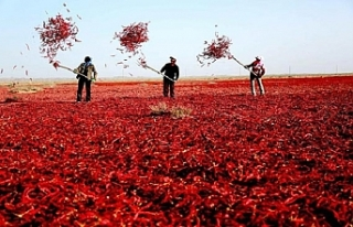 Doğu Türkistan'da, biber hasat mevsimi başladı