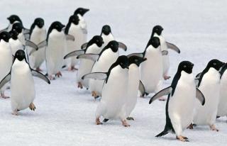 Antarktika'da binlerce yavru penguen öldü
