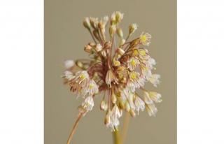 Yeni endemik tür bulundu: Allium istanbulenese