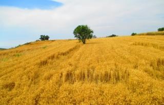 Gazze sınır şeridi buğday tarlası olacak
