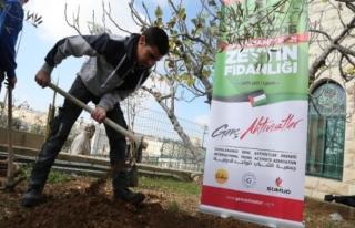 Kudüs'te Abdülhamid Han Zeytin Fidanlığı canlandı
