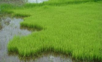 Mısır 500-700 bin ton pirinç ithal edecek