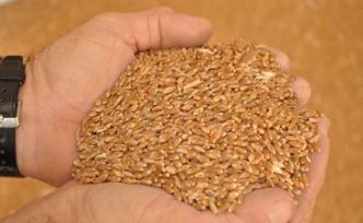 Türkiye'nin tohumları 'Gen Bankası'nda toplanıyor