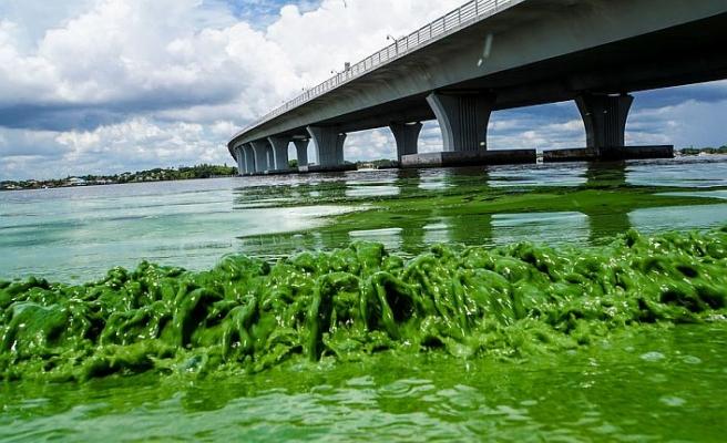 """Florida'da """"zehirli algler"""" OHAL ilan ettirdi"""