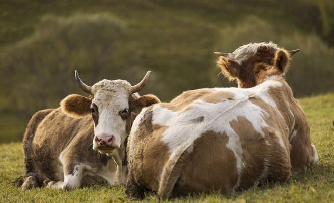 Küresel ısınmada yeni günah keçisi inekler