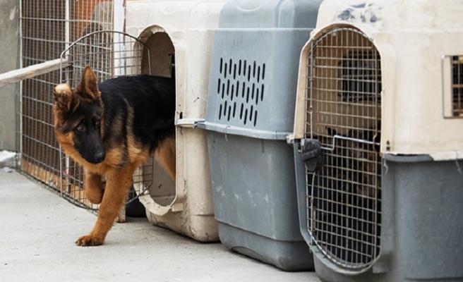 Afganistan'da Alman çoban köpekleri revaçta