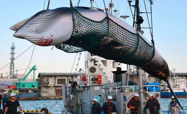 Japonya ticari balina avına başlıyor