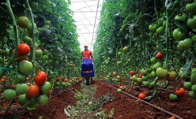 Rusya, Türkiye'den domates ithalatını 100 bin ton yapıyor