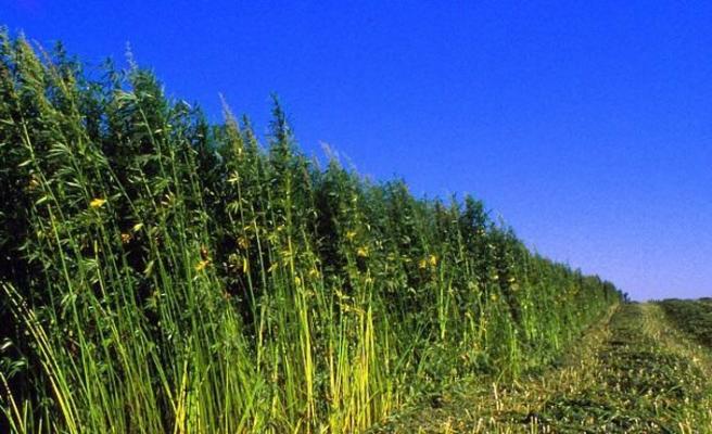 Kendir - Kenevir üretimine start verildi. Kenevir ve Marihuana Arasındaki Fark Nedir?