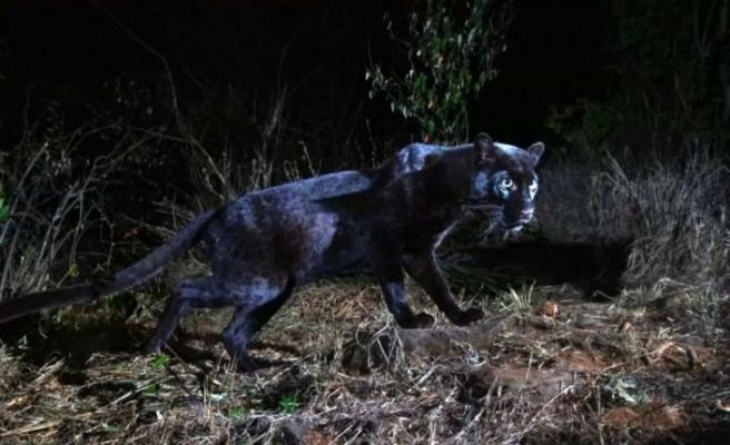 En son 1909'da görüntülenen siyah leopar Kenya'da ortaya çıktı
