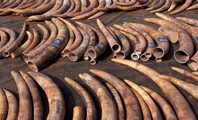 Çin'de 7 tondan fazla fil dişi ele geçirildi