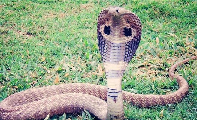 Almanya'da evden kaçan kobra yılanı aranıyor