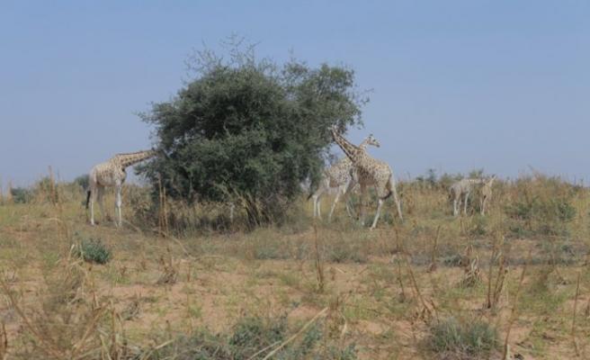 En değerli Camelopardalis Peralta zürafalarına TİKA eli değdi