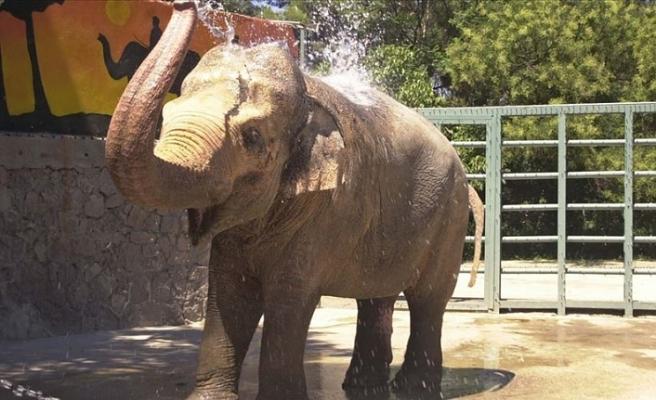 Hindistan'da hamile filin patlayıcı yerleştirilen ananas nedeniyle ölümü tepkiye yol açtı