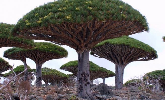 Sokotra'daki ender ağaçlar adres değiştiriyor