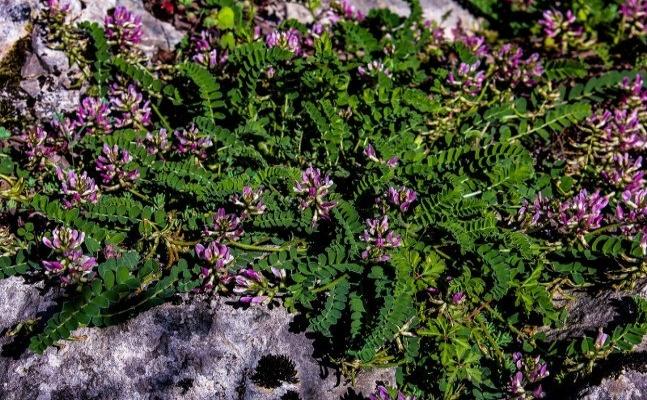 Bartın'da endemik bitki türü keşfedildi