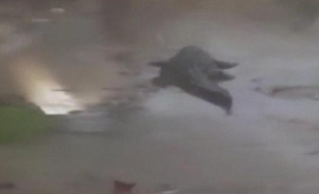 Kasırganın vurduğu ABD'de dev timsahlar sokaklarda