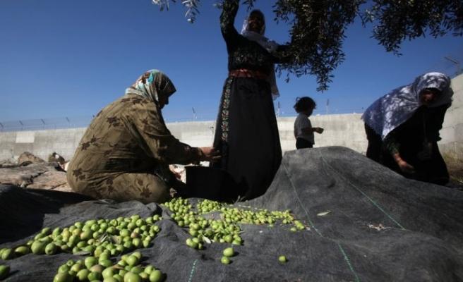 Zeytin toplayan Filistinlilere saldırı