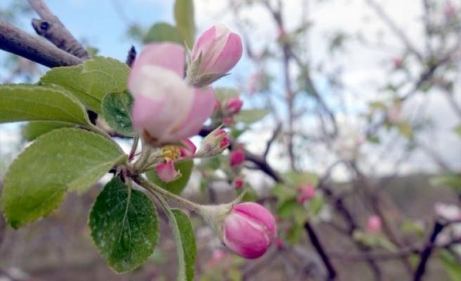 'Yalancı bahara' aldanan meyve ağaçları çiçek açtı