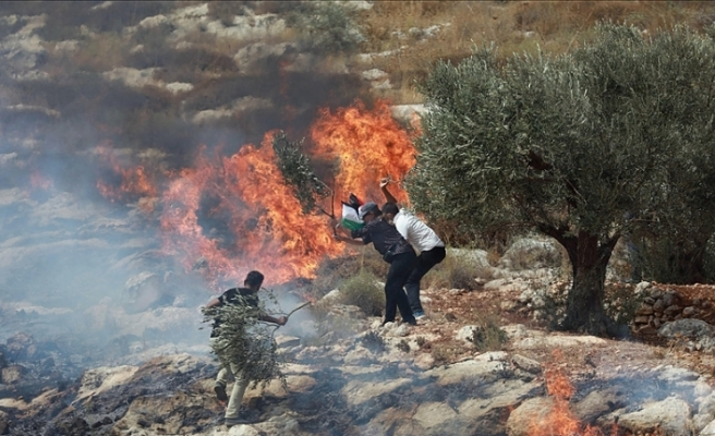 Fanatik Yahudiler Batı Şeria'da zeytinliklere saldırdı