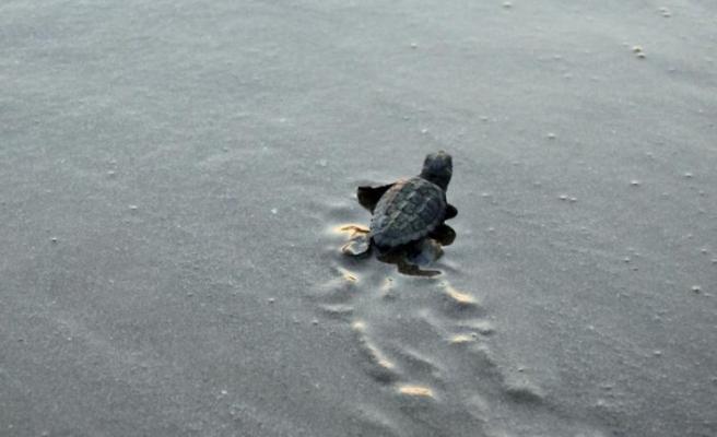 Mersin'de deniz kaplumbağaları için çalışma