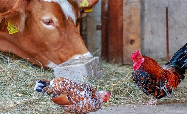 Dünya Hayvan Sağlığı Örgütü açıkladı, sığır ve kümes hayvanları Kovid-19'u yaymıyor