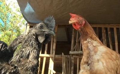 Çin'de 23 binden fazla tavuk itlaf edildi