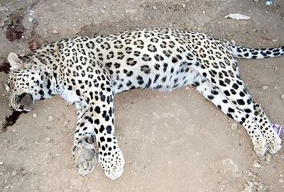 Anadolu leoparı ortaya çıktı