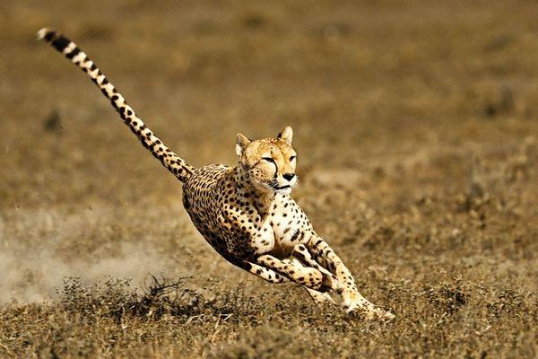 Çita'nın müthiş taktiği