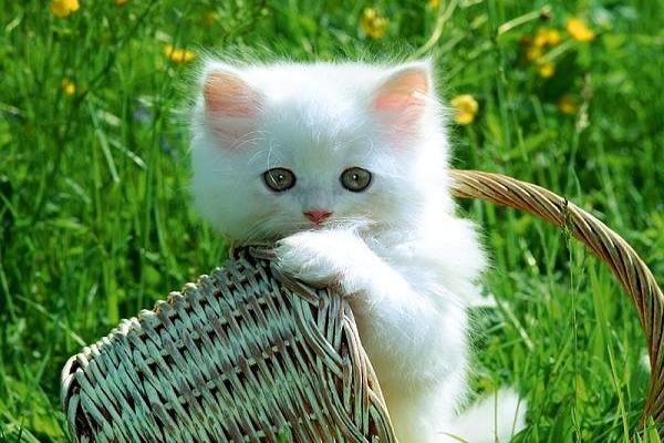 Kedilerden insanlara tüberküloz bulaştı