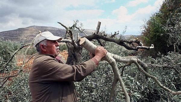 Yahudiler, hasat zamanı zeytin ağaçlarını katletti!