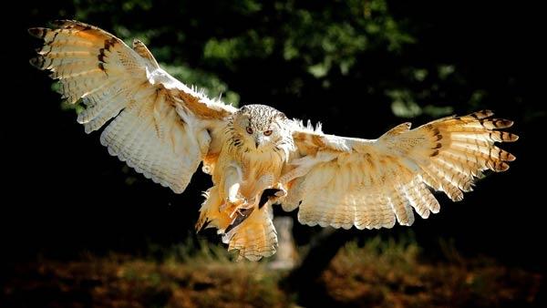 Hollanda'da Puhu kuşuna hapis cezası