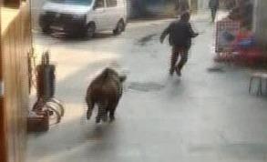 İstanbul Beykoz'da domuz paniği | VIDEO