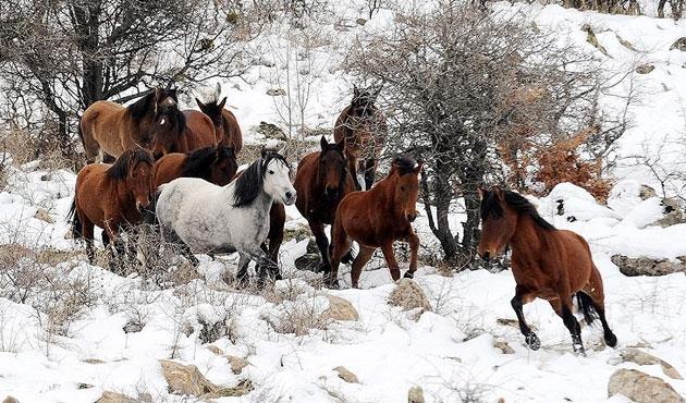 Murat Dağı'nda yılkı atları sürüsü görüntülendi